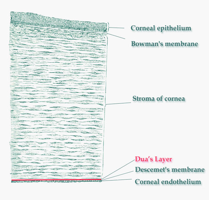 New Layer In The Cornea Discovered